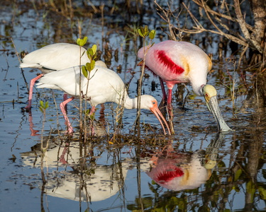 Feeding Spoonbill and Ibis