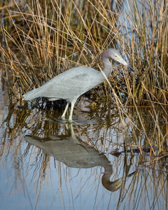 Heron Reflection #2
