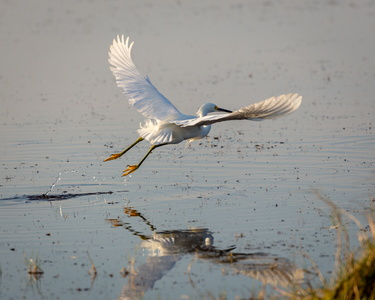 Egret Flying #2