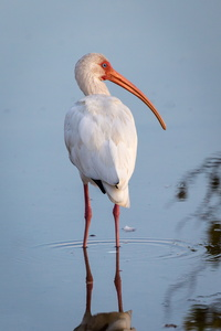 Ibis from Behind