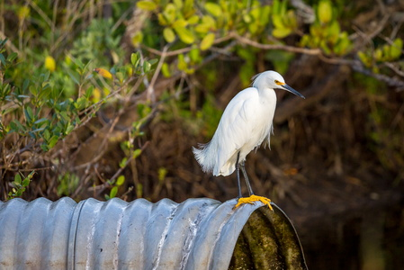 Egret on a Pipe