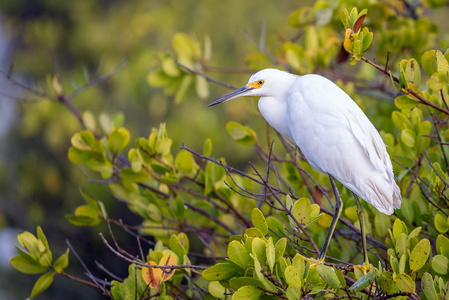 Egret in a Tree #3