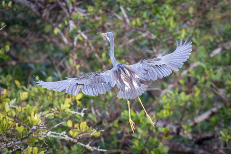 Flying Heron #12