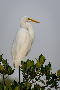 Egret in a Tree #2