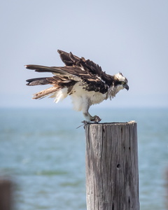 Osprey on Pylon #2