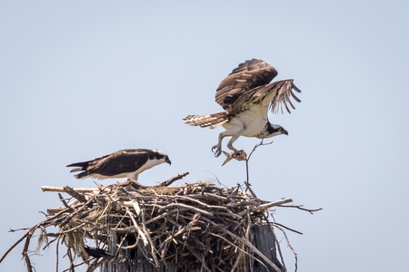 Osprey with Fish #12