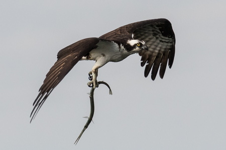 Osprey with Fish #1