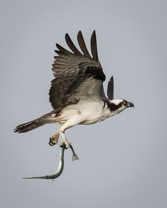 Osprey with Fish #3