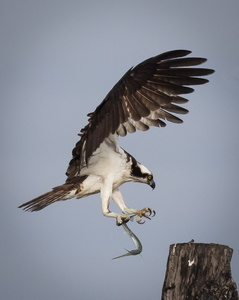 Osprey with Fish #4