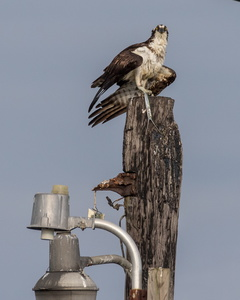 Osprey with Fish #5