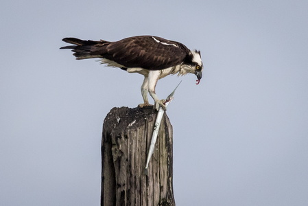 Osprey with Fish #7