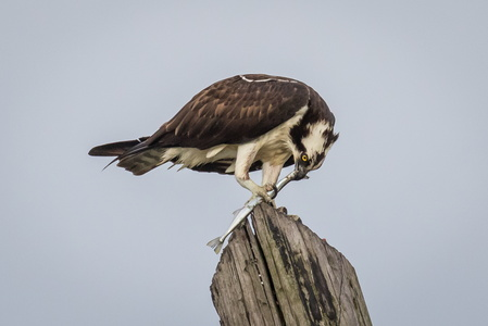 Osprey with Fish #10