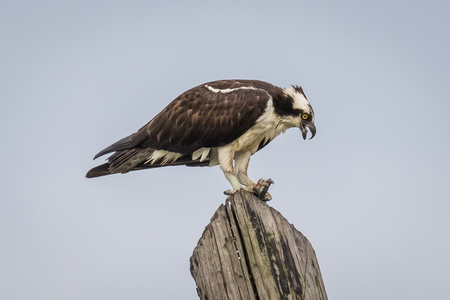 Osprey on Pylon