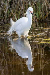 Egret and Reflection #5