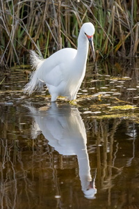 Egret and Reflection #6