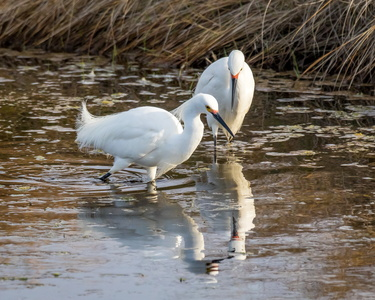 Egret and Reflection #7