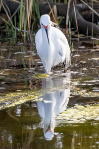 Egret and Reflection #3
