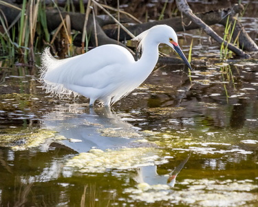 Egret and Reflection #4