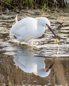 Egret Fishing #3