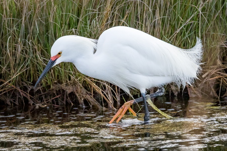 Egret Fishing #2
