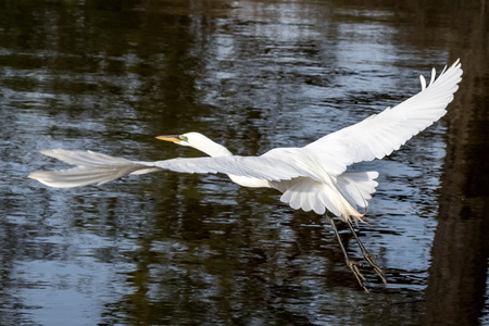 Egret Flying #3