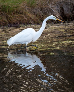 Egret and Reflection #2