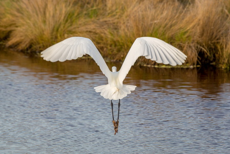 Egret Flying #1