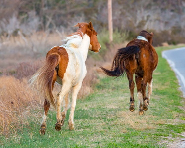 Chincoteague Ponies #4