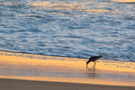 Oystercatcher Sunrise #1