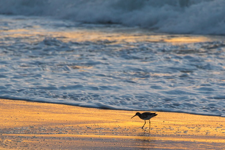 Oystercatcher Sunrise #2