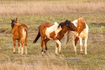 Chincoteague Ponies #1
