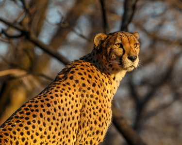 Cheetah at Sunrise #1