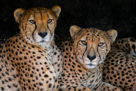 Pair of Cheetahs #3