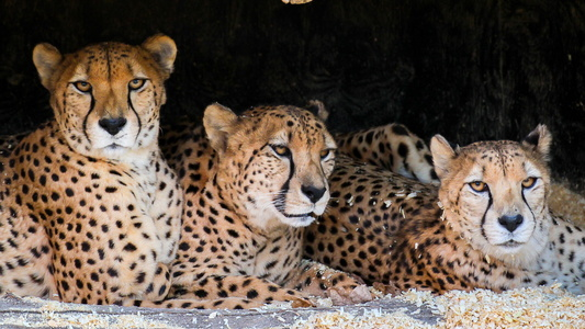 Trio of Cheetahs
