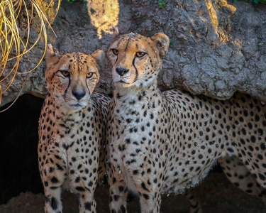 Pair of Cheetahs #1