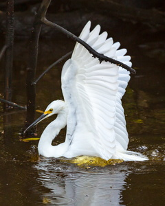 Egret Splash #2