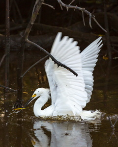 Egret Splash #1