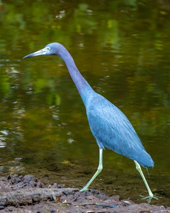 Little Blue Heron #3