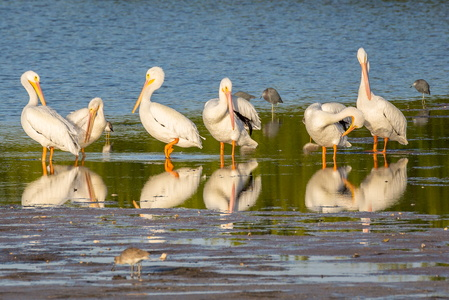 Pelicans Reflecting #3