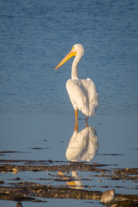 Pelican Reflecting #2