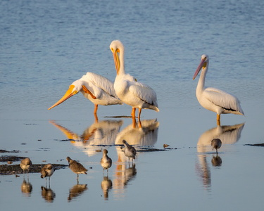 Pelicans Reflecting