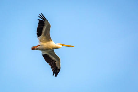 Flying Pelican #2