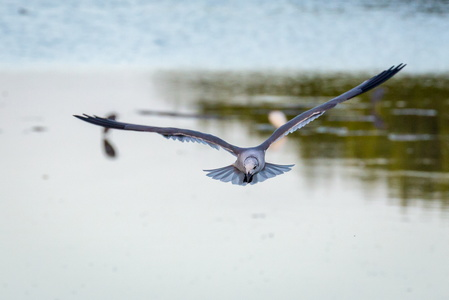 Flying Gull #1