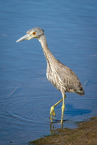 Yellow Crowned Night Heron #1
