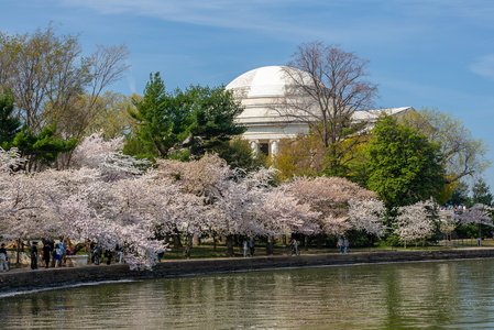 Jefferson with the Cherry Blossoms