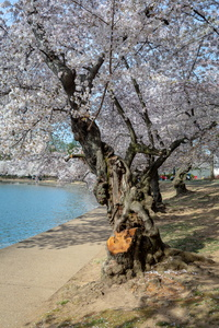 Cherry Blossoms on the Path