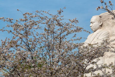 MLK Surveying the Cherry Blossoms
