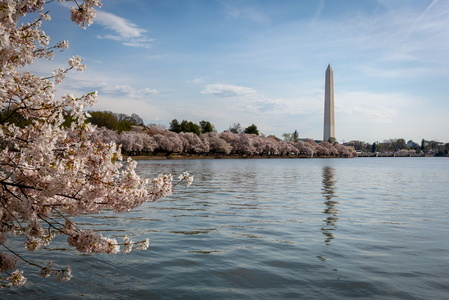 Tidal Basin With Cherry Blossoms