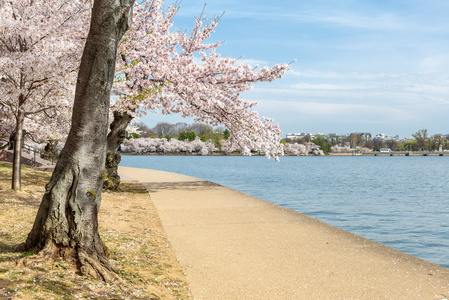 Cherry Blossoms on the Path #2