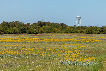 Kitty Hawk Wildflowers